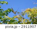 蝶 アゲハ アゲハ蝶の写真 2911907