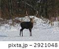 エゾジカ エゾシカ 動物の写真 2921048