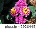 ランタナ 七変化 シチヘンゲの写真 2928445