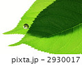緑の葉 葉 若葉の写真 2930017