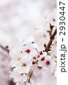 満開の桜 2930447