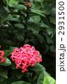 サンタンカ 赤い花 2931500