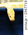 ビルマニシキヘビ 2947719