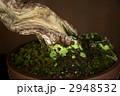 松 盆栽 苔の写真 2948532