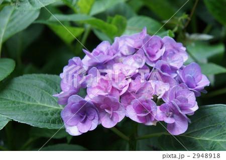 紫陽花 ポージィブーケ エレガンス 2948918