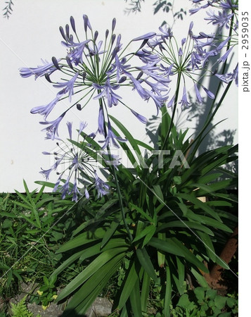 さわやかな薄紫のアガパンサス。夏に彼岸花の様に、放射状の花を付ける。 2959035