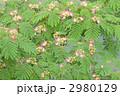 ネムの花 ねむのき 合歓の木の写真 2980129