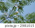 ネムノキ 合歓木 葉の写真 2981015