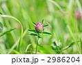 ツメクサ アカツメクサ クローバーの写真 2986204
