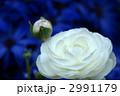 花金鳳花 ハナキンポウゲ ケイカの写真 2991179