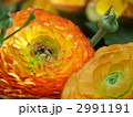 ハナキンポウゲ 花金鳳花 ラナンキュラスの写真 2991191