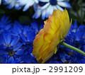 花金鳳花 ハナキンポウゲ ケイカの写真 2991209