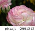 ハナキンポウゲ 花金鳳花 ラナンキュラスの写真 2991212