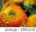 ハナキンポウゲ 花金鳳花 ラナンキュラスの写真 2991216