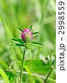 アカツメクサ ムラサキツメクサ 紫詰草の写真 2998559