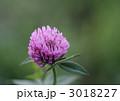 レッドクローバー ムラサキツメクサ 花の写真 3018227