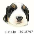バーニーズマウンテンドッグ子犬の顔 3018797
