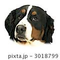 バーニーズマウンテンドッグの顔 3018799