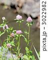 アカツメクサ ムラサキツメクサ 紫詰草の写真 3022982