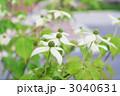 庭に咲く山法師の花 3040631