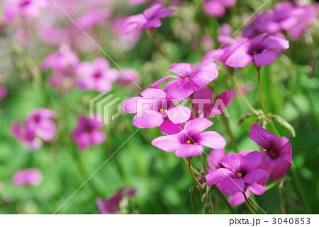 紫のオキザリス 3040853