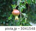 石榴 ザクロの実 ザクロの写真 3041548