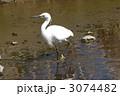 シラサギ 白鷺 コサギの写真 3074482