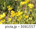 菜の花とミツバチ 3081557