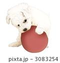 ビションフリーゼ子犬1 3083254