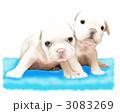 フレンチブルドッグ子犬1 3083269