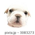 フレンチブルドッグ子犬の顔1 3083273