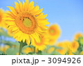 ヒマワリ 3094926