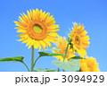 ヒマワリ 3094929