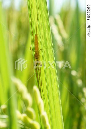 稲の葉にとまるテナガグモ 3096260
