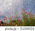 花畑 コスモス 花の写真 3100024
