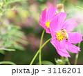 小さいミツバチの命 3116201
