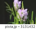 ハナトラノオ カクトラノオ 花の写真 3131432