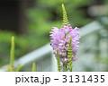 カクトラノオ ハナトラノオ 花の写真 3131435