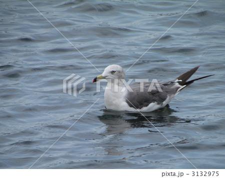 泳いでいるウミネコ 3132975