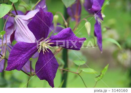 紫のクレマチス(花びら4枚) 3140160