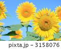 ヒマワリ 3158076