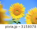 ヒマワリ 3158078