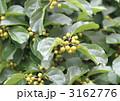 落葉高木のエノキの葉と若い果実 3162776