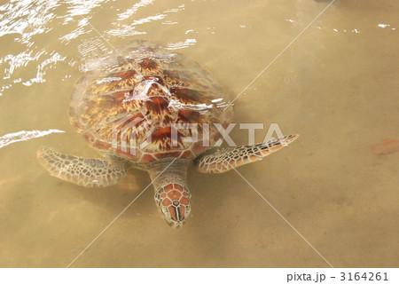 ウミガメ(タートルアイランド(スランガン島)/バリ島・インドネシア) 3164261
