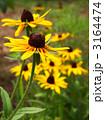 庭花 アラゲハンゴンソウ ルドベキアの写真 3164474