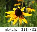 庭花 アラゲハンゴンソウ ルドベキアの写真 3164482