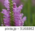 花虎ノ尾 カクトラノオ ハナトラノオの写真 3168862