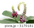 葛の花 くず 花の写真 3170181