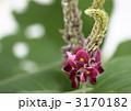 葛の花 くず 花の写真 3170182
