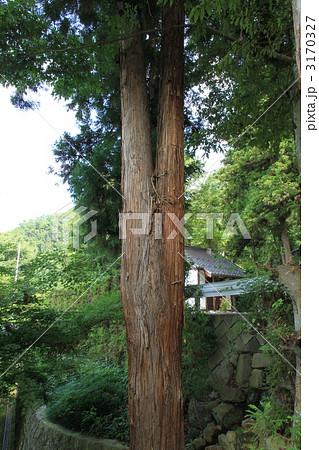 二股になった杉の木 3170327